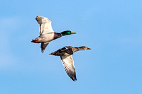 """Mallards In Flight"""