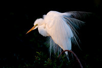 Egrets, Herons, Pelicans and other Water Birds